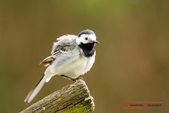 """Bachstelze (Motacilla alba) • <a style=""""font-size:0.8em;"""" href=""""http://www.flickr.com/photos/25741809@N05/41959027521/"""" target=""""_blank"""">View on Flickr</a>"""