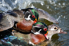 Wood Duck Mating Chaos