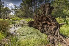 Swamp at Chobham Common