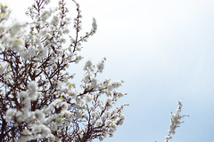 white blooming tree