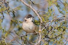 Western Orphean Warbler | herdesångare | Sylvia hortensis