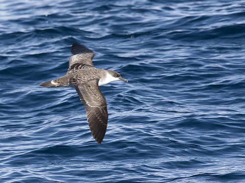 "Great Shearwater - mega! - Eaglehawk Neck Pelagic, Tasmania • <a style=""font-size:0.8em;"" href=""http://www.flickr.com/photos/95790921@N07/42181700422/"" target=""_blank"">View on Flickr</a>"