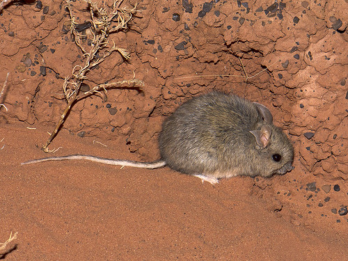 """Plains Mouse - Pseudomys australis - Mac Clarke, NT • <a style=""""font-size:0.8em;"""" href=""""http://www.flickr.com/photos/95790921@N07/41399765784/"""" target=""""_blank"""">View on Flickr</a>"""