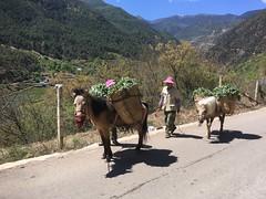 Pferde beladen mit Gemüse.