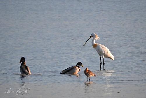 Water and waders birds / Vizi-gázlómadarak