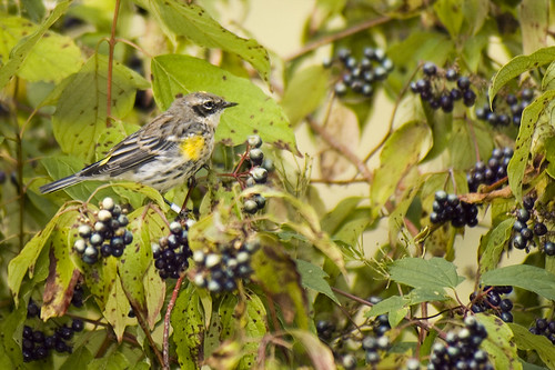 Yellow-rumped Warbler in some Dogwood