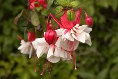 Fuchia blossoms
