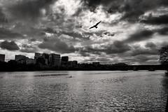 Potomac Gull