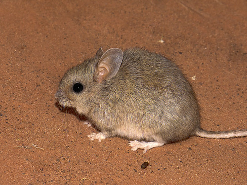 """Plains Mouse - Pseudomys australis - Mac Clarke, NT • <a style=""""font-size:0.8em;"""" href=""""http://www.flickr.com/photos/95790921@N07/41399768234/"""" target=""""_blank"""">View on Flickr</a>"""