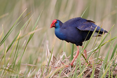 Western Swamphen | västlig purpurhöna | Porphyrio porphyrio