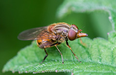 Black-rimmed snout hoverfly,