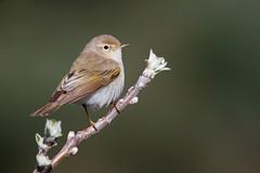 Western Bonelli's Warbler | bergsångare | Phylloscopus bonelli