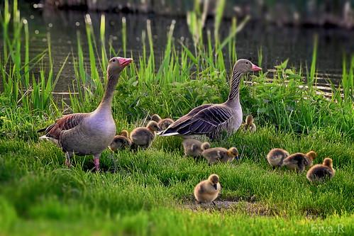 Big family/ Nyári lúdak (Anser anser)/ Nagycsalád