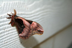 Prometheus Moth Female (Close Profile)