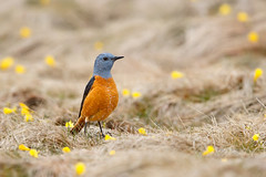 Common Rock Thrush | stentrast | Monticola saxatilis