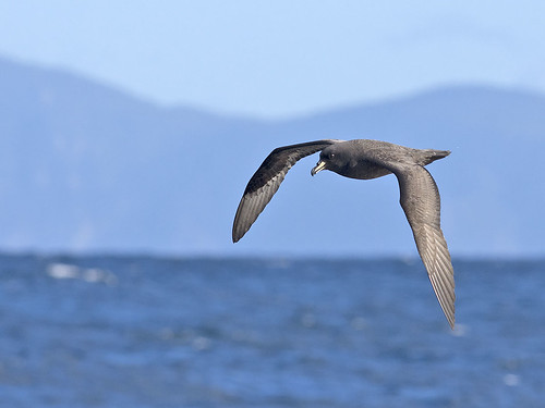 "Westland Petrel - mega! - Eaglehawk Neck Pelagic, Tasmania • <a style=""font-size:0.8em;"" href=""http://www.flickr.com/photos/95790921@N07/41327229475/"" target=""_blank"">View on Flickr</a>"