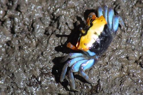 Mangrove Crab by webmink