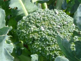 Broccoli for children who won't eat it.