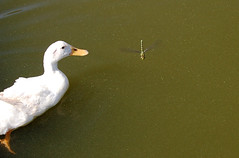 duck attacking dragonfly