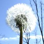 dandelion seedhead