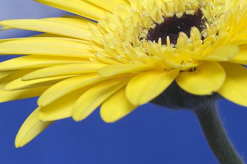 Yellow Gerbera Daisy Flickr Photo Sharing