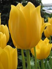 Tulipán Big Smile