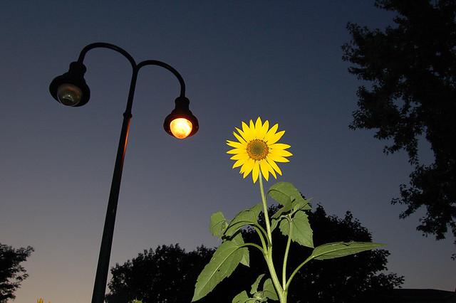 Nocturnal Sun