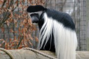 monkey with long hair