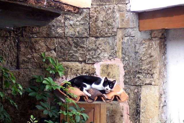 mexican cat