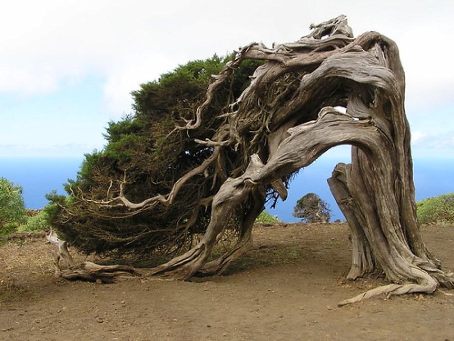 Arbol Sabina-El Sabinal Isla de El Hierro Islas Canarias
