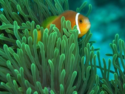 Clownfish (2)