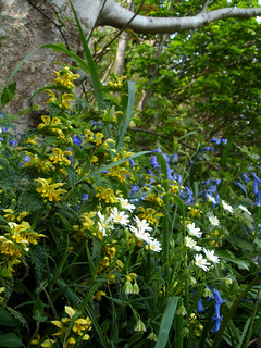 yellow archangel, bluebells and greater stitchwort - brakey bank
