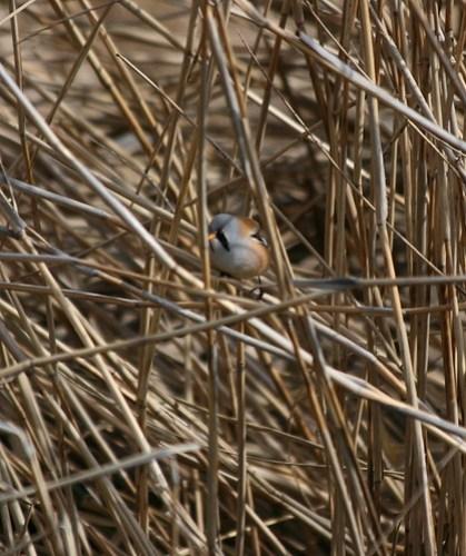 Male Bearded Reedling (Panurus biarmicus) in reeds