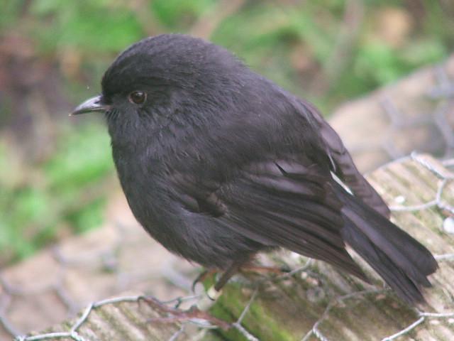 DSCF3430 black robin by NG
