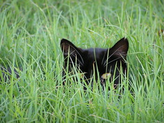 Hidden Cat
