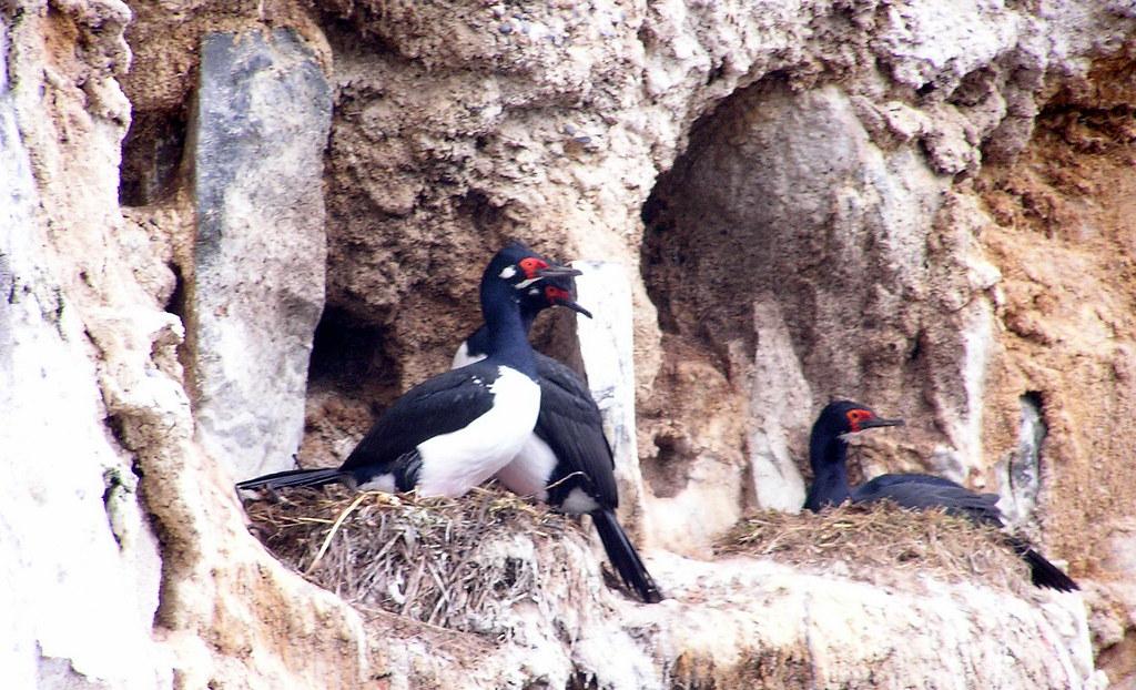 Cormoran cuello negro Isla Gable y Estancia Harberton Argentina 132