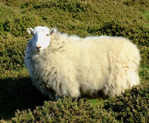 sunny sheep