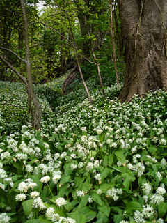 ramsons - fairlight glen
