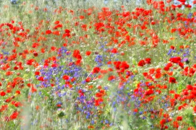 Wildflowers a la Monet