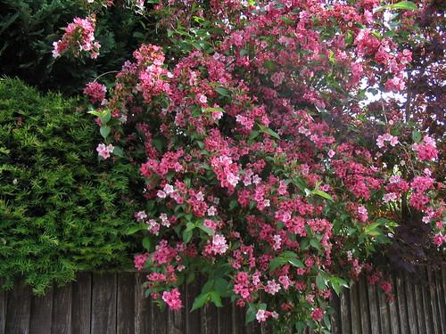 7 easy care flowering shrubs