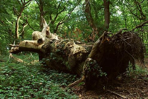 fallen tree  Castanea sativa Fagaceae  Pipers Hill