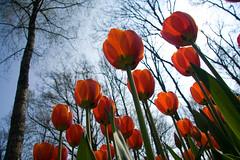 Tulipanes naranja desde el suelo