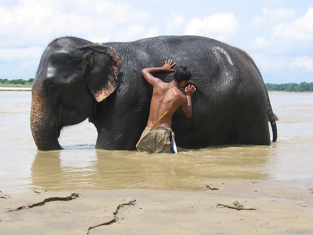 Elephant scrubbing - Chitwan National Park