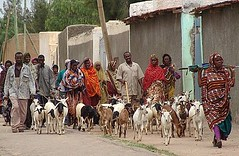 Bringing the goats into town