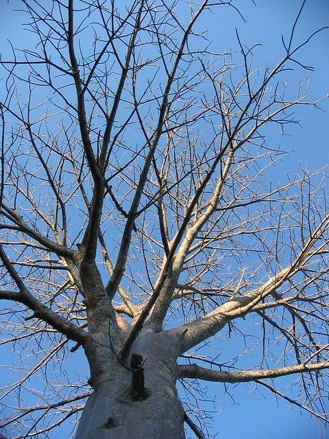 Baobab Punda Maria