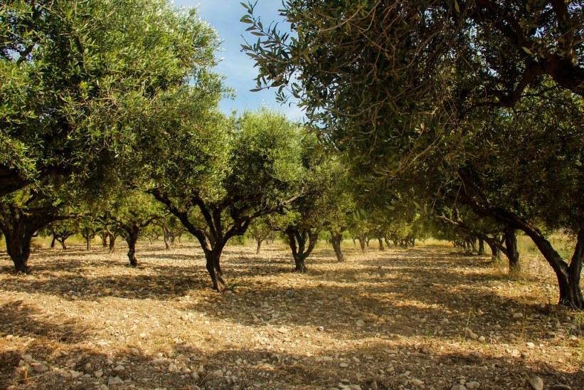 Olivenlunde på Kos, Grækenland