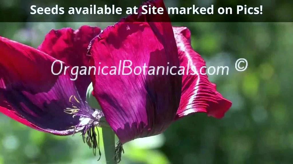 Organical Botanicals | Photo Slides of Papaver Somniferum Poppies for the 2017 Season