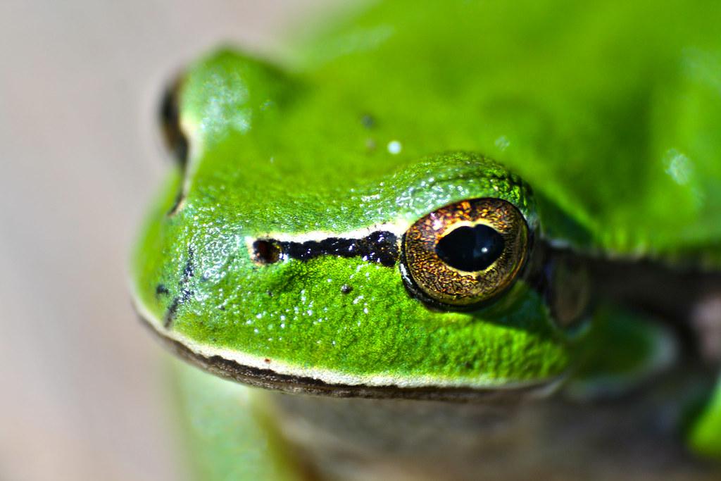 Imagen gratis una rana verde americana arboricola