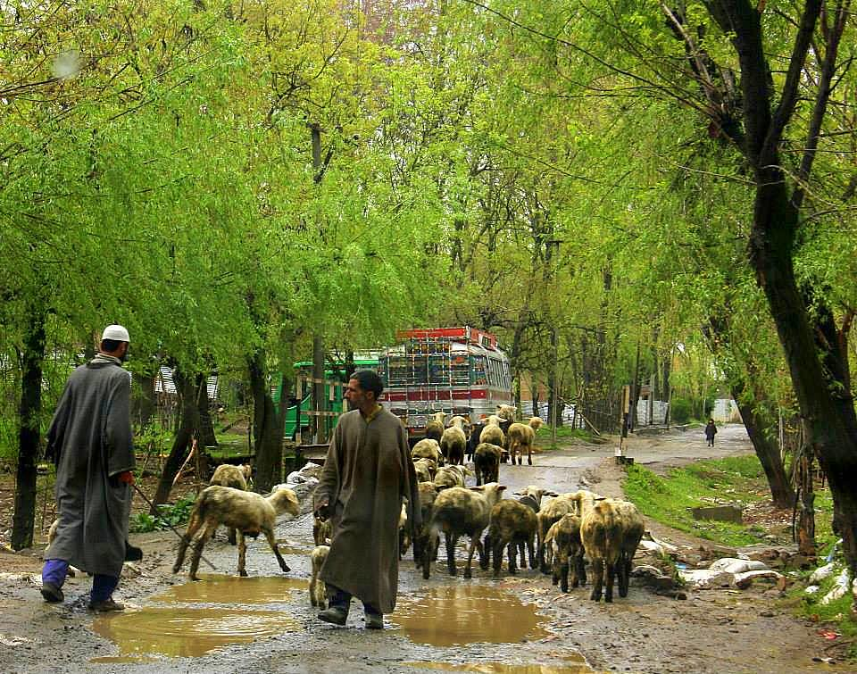 kokernag road blocked by sheep herds