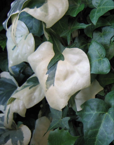 White ivy at the Conservatory. Photo copyright Jen Baker/Liberty Images; all rights reserved